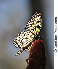 paper kite butterfly - white paper kite butterfly