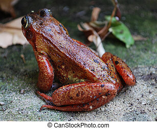 Common Frog - Red Common Frog on land