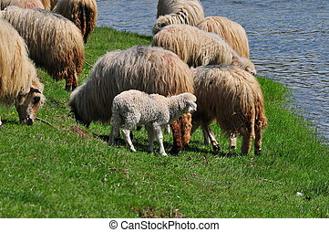 Flock of sheep - Idylle - Flock of sheep at an idyllic creek...