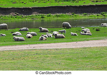 flock of sheep at the river - Flock of sheep at an idyllic...