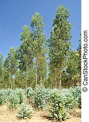 Plantation gum trees - Regrowth of Tasmanian Blue Gums in...