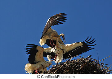 fighting storks - A white stork couple defends its nest...
