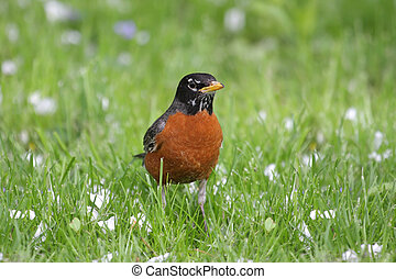 American Robin (Turdus migratorius) on a lawn in spring with...