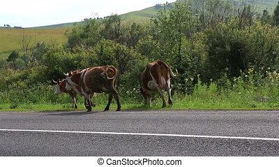 Cows go on the road. Altai Krai. Russia.