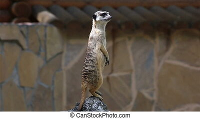 Looking meerkat stands guard (guarding the family).