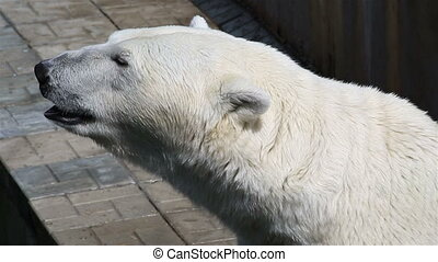 Polar bear close up.