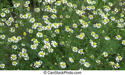 fresh chamomile blossoms in summer