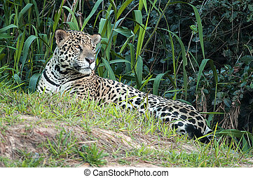 Jaguar, Panthera onca - Jaguar in Pantanal region, Brazil