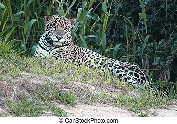 Jaguar, Panthera onca - Jaguar in Pantanal region, Brazil