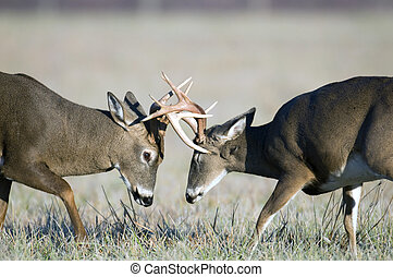 Whitetail deer fighting - Two whitetail deer spar during the...