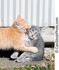 Rough play - A male yellow kitten bites his sister on the...