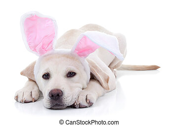Easter Bunny - Easter bunny Labrador puppy dog in bunny ears