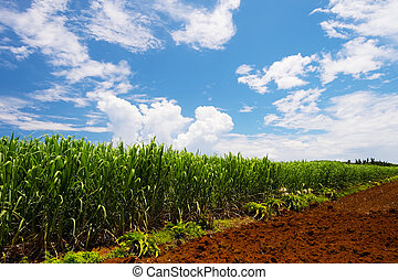 Sugar Cane Field-Saccharum officinarum, Okinawa...