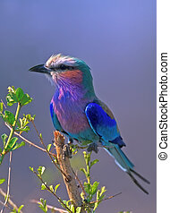Lilac-breasted Roller Coracias caudata in Kruger National...