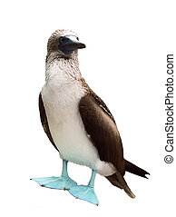 Blue-footed Booby - Isolated over white Blue-footed Booby...