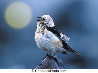 Snow bunting - Morning song of snow bunting