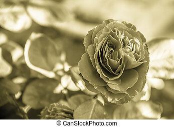 vintage beautifu pink rose - beautifu pink rose