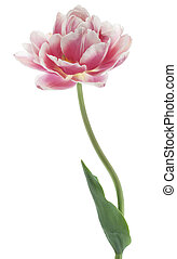 tulip - Studio Shot of Magenta Colored Tulip Flower Isolated...