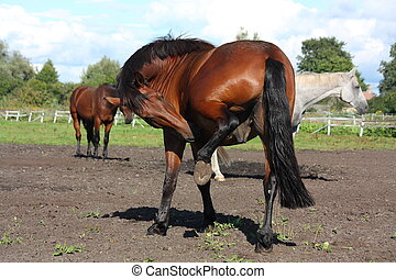 Beautiful brown horse scratching itself in summer