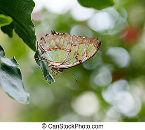 Malachite Butterfly showing patterned underwing