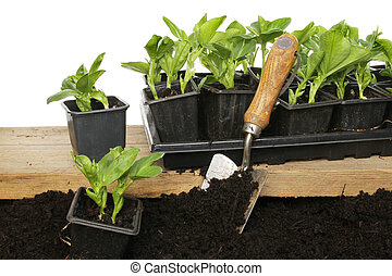 Broad bean plants - Planting out broad bean seedlings from a...