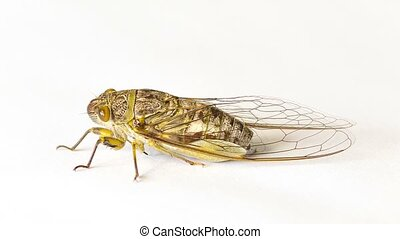 Cicada on a white background - Video 1920x1080 - Cicada on a...