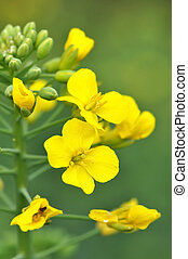 rapeseed  - close on a yellow flowers of colza
