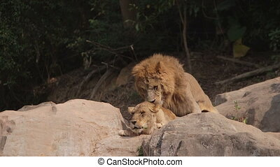 two lions mating during the love season in China safari...