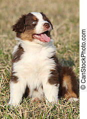 Nice puppy of Australian Shepherd Dog in early spring grass...