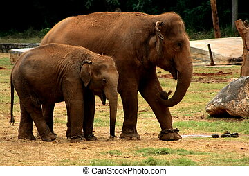 Together with love - A two elephants walking together in a...