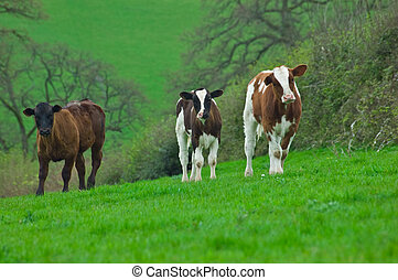 Three Young Cows - Three young spring born cows looking...