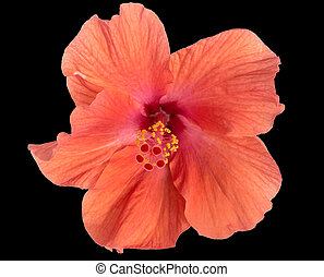 Red hibiscus on black background
