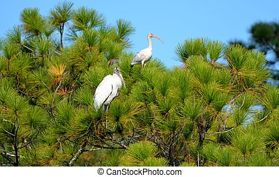 Tropical birds - Wood Stork and Ibis birds in the wild on...