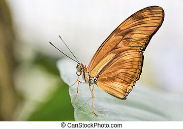 Tropical butterfly (Dryas julia)