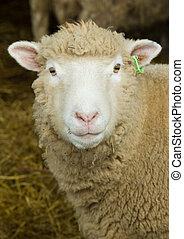 mouton, portrait