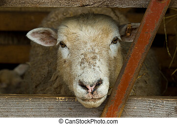 sheeps head - a sheeps head poking through a wodden gate,...