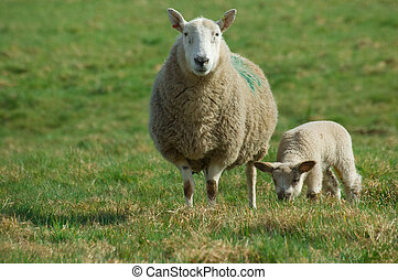 Mother sheep and spring lamb