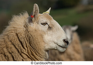 Sheeps head - A close up shot of a Shetland-Cheviot sheeps...