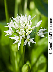 Wild garlic Allium ursinum - the delicate white flowers of...