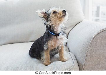 Yorkshire terrier sitting on the couch at home in the living...