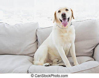 Yellow labrador sitting on the couch at home in the living...