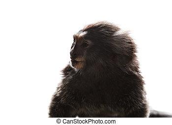 close up face of marmoset monkey on white background