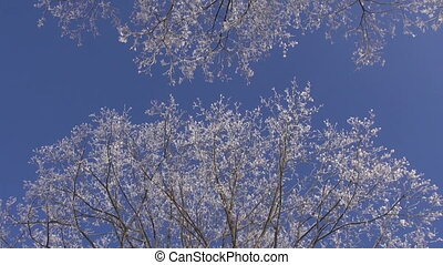 beautiful hoarfrost on winter tree branch
