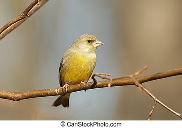 European Greenfinch - Male Greenfinch in early spring.
