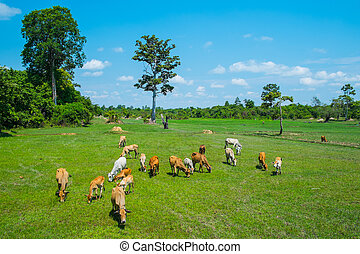 Cows grazing in a field - Cows grazing in a fresh green...