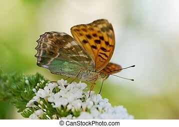 Argynnis butterfly - Orange Argynnis butterfly on a white...