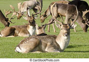 Herd of fallow deer - Herd of fallow deer gather on...