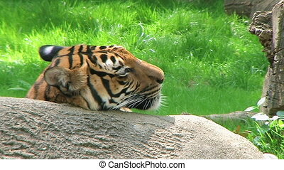 Siberian Tiger Close-up - Close-up of Siberian Tiger resting...