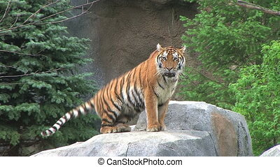 Tiger Rests on Rock - Tiger walks around and lays down.