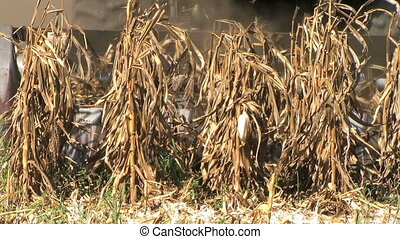 Combine Harvesting Corn - Combine harvesting corn crop -...